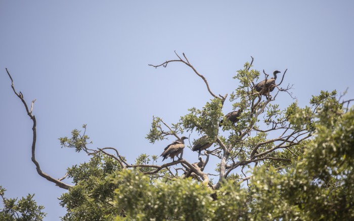 Cape vultures in the Palala game lodge and spa, during a safari drive.