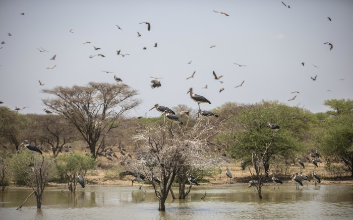 Herons in flight in the Palala game lodge and spa, during a safari drive.