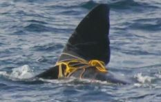 NSRI has freed False Bay whale entangled in ropes