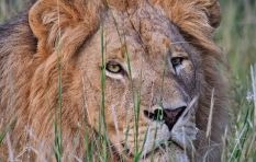 There's a lion on the loose in Beaufort West, warns SANParks