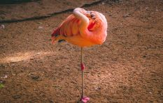 Nearly 2000 baby flamingos rescued at dried up Kamfers Dam