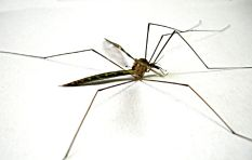 [LISTEN]  Naked Scientist: Malaria carrying mosquitoes killed in lab experiment