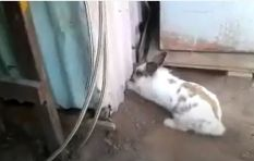 [WATCH] Rabbit finds an inventive way to save cat friend