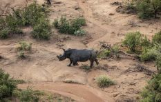 Orphaned rhinos released into the wild