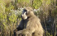 Outrage over Constantia wine farms' permits to hunt baboons