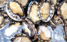 "As abalone (""perlemoen"") disappears forever, a poacher shares his complex story"