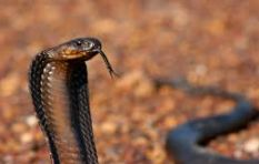 What to do when faced with Cape Town's poisonous snakes