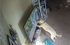 [WATCH] Dog pounces, breaks TV after it spots squirrel running across the screen