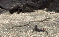 WATCH: Baby iguana barely escapes rattling showdown with nest of snakes