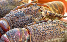 West Coast Rock Lobster (kreef) in the red