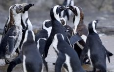 How endangered African Penguins may be saved