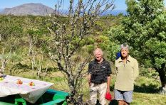 Oldest apple tree found on Table Mountain