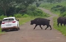 [VIDEO] Buffalo rams impatient car in KZN game park