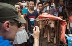 An inside look at the Yulin dog meat festival that's raising hairs worldwide