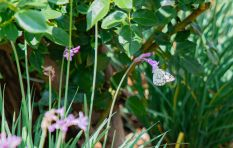 Do you know where the million of white butterflies spotted in Jozi are going?