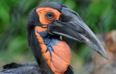 Southern Ground-Hornbill: Ways to conserve this endangered species