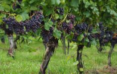 Drought causes R700 million loss in the wine industry