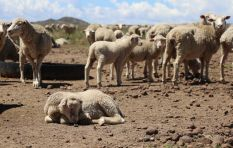 Karoo farmers forced to cull 'weak sheep' amid worsening Northern Cape drought