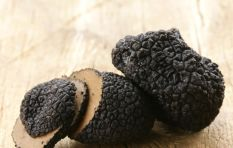 South Africa's First Ever Black Truffle Harvested!