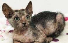 This rare 'werewolf' cat was found in the Company Gardens in Cape Town