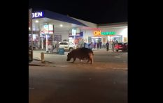 [WATCH] Hippo taking a casual stroll to St Lucia garage goes viral