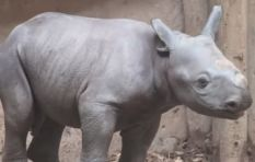 [WATCH] Baby black rhino birth at zoo surprises visitors
