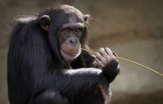 [LISTEN] Masterclass on chimpanzees - The family from BBC Dynasties