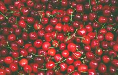 Cherry-picking at Klondyke more bountiful this year as drought eases