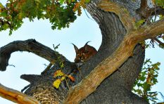 Caracal spotted in Bergvliet, Cape Town