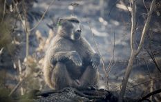 SPCA responds to baboon shootings in Constantia Valley
