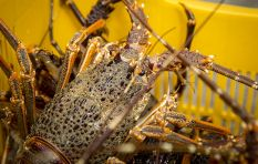 West coast rock lobster season kicks off on Saturday