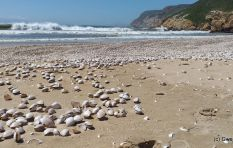 More than 11 million clams wash up on Robberg Beach in Plett