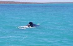 Orcas spotted in Langebaan Lagoon must've been hunting, says conservationist