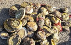 Abalone poaching has links to drug syndicates and prostitution