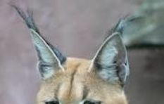 [LISTEN] Humans are biggest threat to local caracal population
