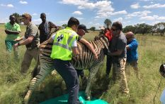 Lonely zebra found grazing on Germiston golf course ends up in happy herd