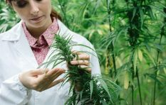 It just became legal for anyone to deal in dagga-derived CBD