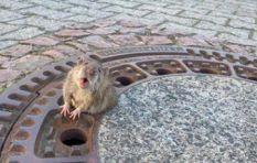 [WATCH] Chubby rat stuck in a grate wins hearts after rescue by firefighters