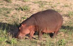 Lack of food forces Kruger National Park to cull its hippos