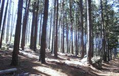 Pine tree felling underway in lower Tokai forest