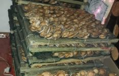 WC 'number gangs' running abalone trade in cahoots with Chinese underworld