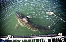 Is shark cage diving an ethical practice for tourists and adrenaline junkies?