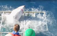 Dramatic video shows close call with Great White in shark cage