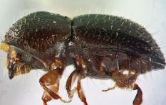 Criminals using borer beetle to scam residents