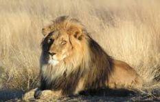 Pride of lions displaying odd behaviour at Kruger National Park