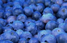 Blueberry production – and employment - skyrockets to all-time high
