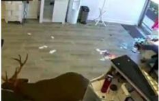 [WATCH] Confused deer crashing through a salon window goes viral