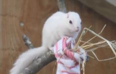 [VIDEO] Donations of socks stream in to keep chipmunks warm over Christmas