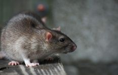 NSPCA warns City against 'inhumane' rat drowning strategy