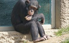 Paralysis 'cured' in chimps, but radical experiment raises ethical dilemma